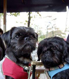 kurosuke ishigaki(Right)& His friend mujiro(Left) Pug+ShihTzu Mix Dog