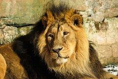Lion, Petoeläin, Kissa, Mies, Eläintarha
