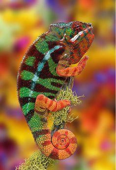 Chameleon. I love lizards!