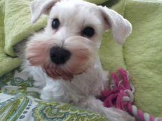 My girl, Berdie (White Miniature Schnauzer) *TruePassionista on Pinterest - Mini Schnauzer