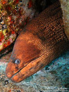 Brown morey--Gymnothorax unicolor