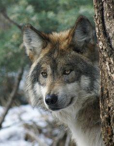 Gazing wolf