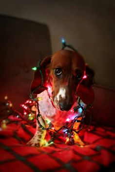 doxie wrapped in christmas lights