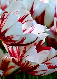 Candy cane tulip - tulips, my favorite. Doesn't hurt to add the candy cane! Tulips Flowers, My Flower, Planting Flowers, Beautiful Flowers, White Tulips, Flowers Garden, Parrot Tulips, Beautiful Gorgeous, White Flowers
