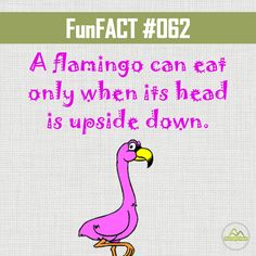 A flamingo can eat only when its head is upside down. #funfact