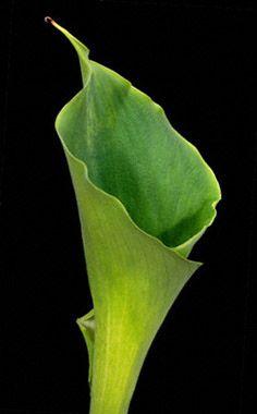 calla lilly green $2.79