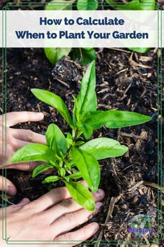 Calculating when to plant in your area is a crucial step for a successful vegetable garden. It involves a number of variables, but this post will take some of the guesswork out of the equation. #gardeningtips #whentoplant #organicgardening #vegetablegardening Vegetable Gardening, Organic Gardening, Gardening Tips, When To Plant Vegetables, Growing Vegetables, Pumpkin Varieties, Xeriscaping, Health Heal, Baby Carrots