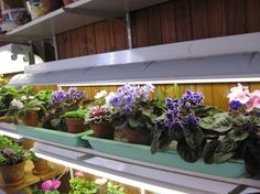 Growing African Violets and keeping them in bloom