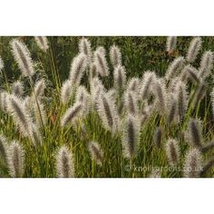 £6.95 Pennisetum Cassians Choice 2litre Sold by Knoll Gardens