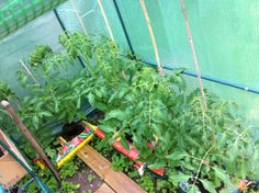 Tomato forest....