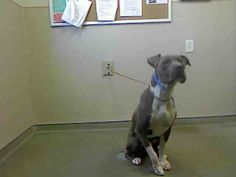 *RUFFIAN-ID#A723692  Shelter staff named me RUFFIAN.  I am a male, blue and white Pit Bull Terrier.  The shelter staff think I am about 3 years old.  I have been at the shelter since Jun 21, 2013.  This information is less than 1 hour old.