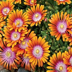 Fire Spinner® Ice Plant Attract butterflies with this colorful ground cover!  You'll love its unique tri-colored, daisylike flowers that bloom from late spring to early summer. The blooms have narrow orange petals, a hot pink ring, and a white eye.  Zones 5-9, 1-3″ tall, 12-15″ wide, sun/part shade