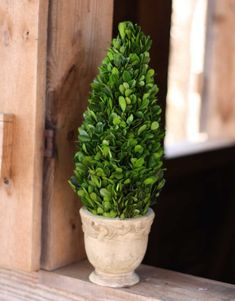 """Preserved Boxwood Cone Topiary in Old World Italian Footed Pot - 16"""" - 5"""