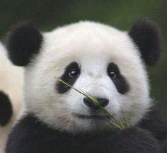 little pandi !