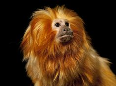 A Golden Lion Tamarin, Leontopithecus Rosalia Rosalia by Joel Sartore Golden Lion Tamarin, Golden Lions, Unique Animals, Large Animals, Animal Pictures, Cute Pictures, Nature Pictures, Forest Habitat, Yellow Animals