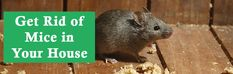 Rodents are the family which consists of rats, mice, squirrels, chipmunks and all the long jaw scissor toothed creatures. These are big nosiness for the humans and the environment. Mice Removal, Rat Infestation, Rat Control, Getting Rid Of Mice, Pest Control Services, Rodents, Rats, A Team, How To Remove
