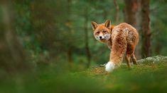 Red Fox, Mammals, Spotlight, Corgi, Wildlife, Drawings, Image, Corgis, Sketches