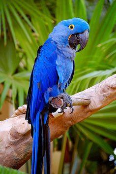 Blue Parrot, Kauai, Hawaii