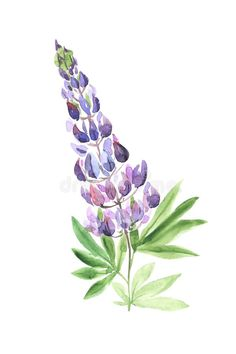 Watercolor hand painted wildflower lupin. Illustration about colorful, branche, flower, blooms, modern, paper, botany, group, backdrop, decoration, hand, lupin, background - 151506890 Lupine Flowers, Water Flowers, Wild Flowers, Watercolor Leaves, Watercolor And Ink, Watercolor Paintings, Watercolours, Flower Feild, Acrylic Flowers