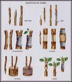 Injertos de rama  https://www.pinterest.com/deharogomez/jardiner%C3%ADa/ #organicgardening