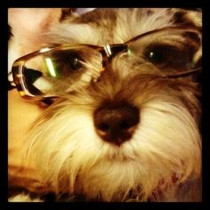 A mini schnauzer with glasses makes him look so adorable**
