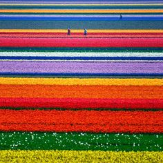Tulip Fields, Holland.