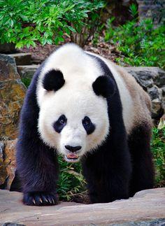 "Search Results for ""ursos panda wallpaper"" – Adorable Wallpapers Panda Love, Red Panda, Cute Panda, Beautiful Creatures, Animals Beautiful, Cute Animals, Panda Wallpaper, Image Panda, Wild Eyes"
