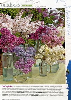 BHG 5/2008: Plant Lilacs in Full Sun & Choose Disease-Resistant Variety & Allow Plenty of Space Around It for Good Air Circulation in order to Reduce Powdery Mildew | AllTogetherChanin