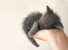 fluffy grey kitten