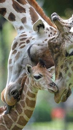 A baby Giraffe Picture taken with his parents. We love Baby Animals. Quick Giraffe Fact: A full grown Male can weigh as much as a whopping 3000 pounds. Learn something new every day. Cute Baby Animals, Animals And Pets, Funny Animals, Wild Animals, Animal Babies, Animals Images, Beautiful Creatures, Animals Beautiful, Majestic Animals