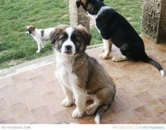 Aidi puppy photo and wallpaper. Beautiful Aidi puppy pictures - m5x.eu