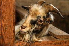 Goats, Animals, Animales, Animaux, Goat, Animal, Animais