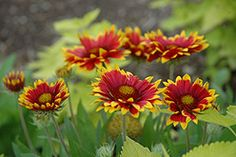 "Arizona Sun Blanket Flower  Gaillardia x grandiflora ""Arizona Sun"""