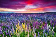 The Russell Lupins Field Photo by Padsaworn Wannakarn