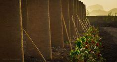 ستون های رزبندی انگور