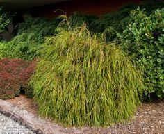 Kigi Nursery - Thuja plicata ' Whipcord ' Dwarf Cord Branched Western Red Cedar, $15.00 (http://www.kiginursery.com/cedars/copy-of-thuja-plicata-grune-kugel-dwarf-western-red-cedar/)