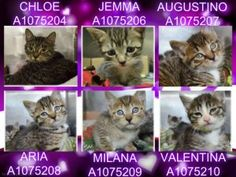 Sweet Tabby mommy & her 5 kittens are in search of a cozy home @MACC  RESCUE ONLY A1075204 & A1075206-A1075210