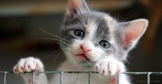 Shelter visitors often drop cats almost like hot potatoes once they learn they're positive for feline immunodeficiency virus. http://healthypets.mercola.com/sites/healthypets/archive/2017/04/11/cats-fiv.aspx?utm_source=petsnl&utm_medium=email&utm_content=art1&utm_campaign=20170411Z1&et_cid=DM139382&et_rid=1962162328