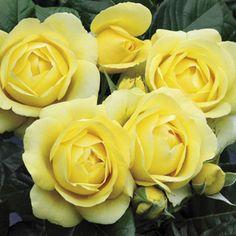 Buy 'Walking on Sunshine' ™ Floribunda Rose for Dazzling, Easy-Care Roses - Available at Jackson & Perkins! Rose Foto, Jackson, One Rose, Simple Rose, Growing Roses, Hybrid Tea Roses, Blooming Plants, Walking, Summer Garden