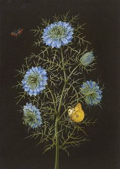amare-habeo: Nigella (Love-in-a-mist) with a pale clouded yellow butterfly and insects Johann Christoph Dietzsch The Fitzwilliam Museum, UK Nigella, Floral Illustration, Plant Illustration, Botanical Flowers, Botanical Prints, Art Floral, Merian, Botanical Drawings, Flower Art