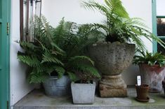 Something for the unbroken-by-windows north wall of my house? Lush ferns sit in planters of assorted sizes.