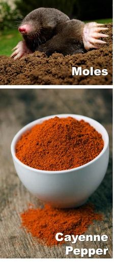 If ground squirrels, moles, gophers, and even deer are tearing up your garden and snacking on your vegetation, try sprinkling a heavy-handed dusting of cayenne pepper directly onto plants you don't want them munching on.