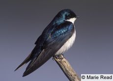 Tree Swallow - these are the birds that next in my bird house every year.
