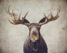 Moose Photo credit:Nastasia Cook