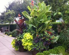 You typically have to wait three to four years for an evergreen plant to grow large enough to work as a foil for other plants, but a canna can grow to four or five feet in a few months.  (Tender perennial)