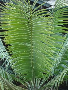 We can now supply you with some of the most collectable Cycads in the world, including seed grown plants and offsets.contact us via=(424) 334-1310  EMAIL=tommykane26@gmail.com We also have available some of the more widely used Cycads in landscape, in a variety of sizes from 300mm pots to 2 metre trunked monsters.