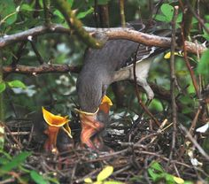 mockingbird nest and eggs - Google Search
