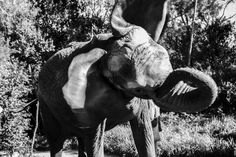 There is perhaps no animal as quintessentially African as the elephant. Cheyenne Turcotte photographs these beautiful animals in their habitat. Link in bio - Africa's Giants. Chameleon, Photojournalism, Animals Beautiful, Conservation, Habitats, Wildlife, African, Elephants, Sustainability