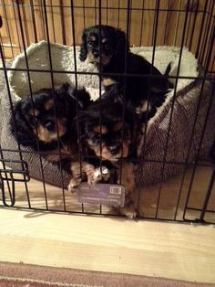 Black and Tan Cavalier King Charles Spaniels in jail