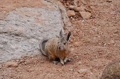 A cute Viscacha in Bolivia Travel Memories, Bolivia, Free Shipping, Cute, Animals, Instagram, Animales, Animaux, Kawaii